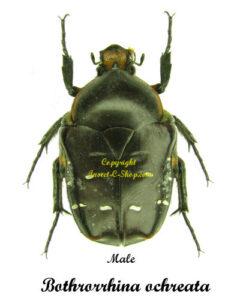 bothrorrhina-ochreata-male