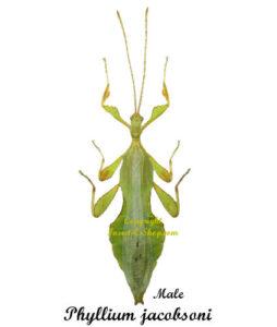 phyllium-jacobsoni-male