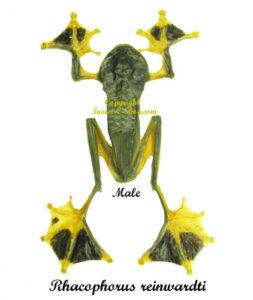 Rhacophorus-reinwardti-male