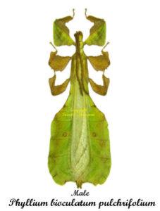 phyllium-pulchrifolium-green-male