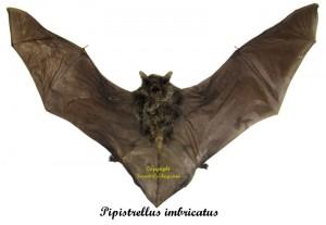 pipistrellus-imbricatus-1