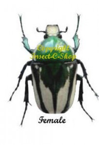 ranzania-splendens-petersiana-female