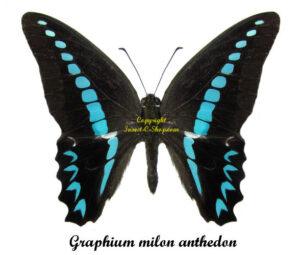 bug-graphium-milon-anthedon