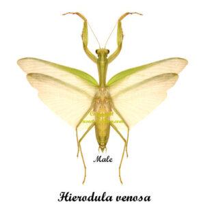 hierodula-venosa-male