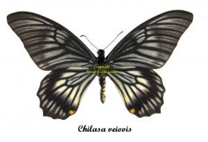 chilasa-veiovis