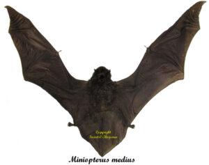 miniopterus-medius