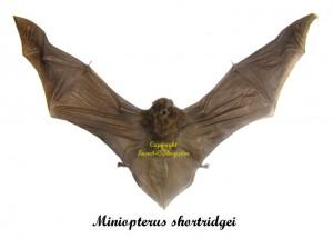miniopterus-shortridgei