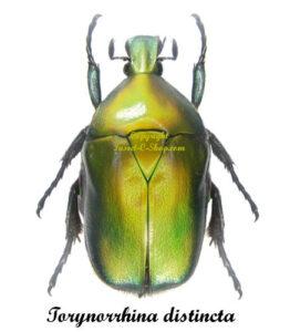 torynorrhina-distincta