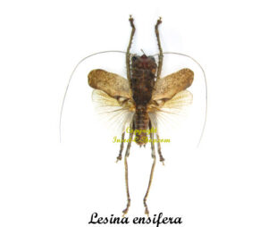 lesina-ensifera