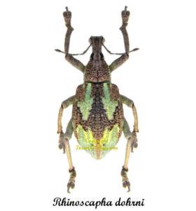 rhinoscapha-dohrni