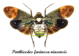 penthicodes-farinosa-niasensis