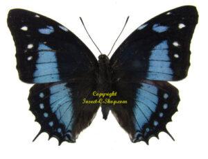 baeotus-baeotus-male