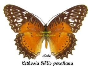 cethosia-biblis-perakana-male