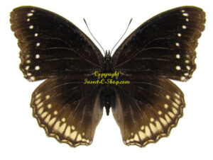 hypolimnas-bolina-female