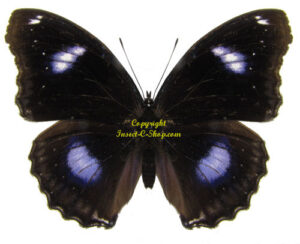 hypolimnas-bolina-male