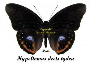 hypolimnas-deois-tydea-male