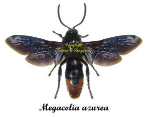 megacolia-azurea