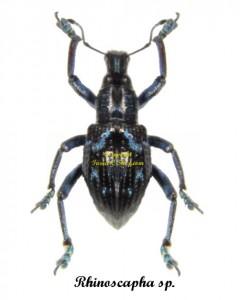 rhinoscapha-sp