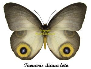 taenaris-diana-leto