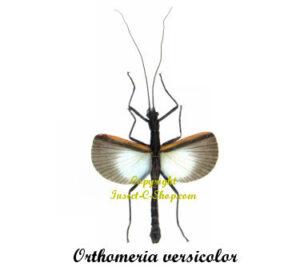 orthomeria-versicolor-male