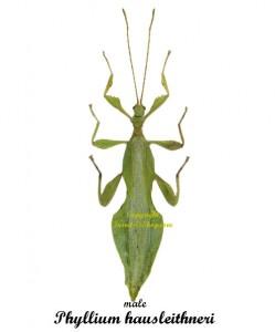 phyllium-hausleithneri-male