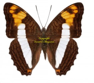 adelpha-phylaca