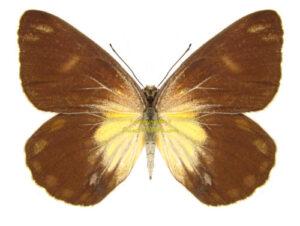 belenois-java-java-female