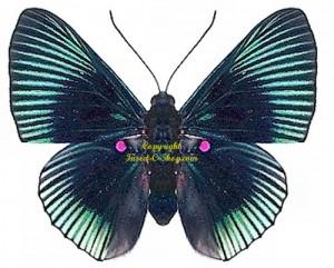 lyropteryx-apollonia