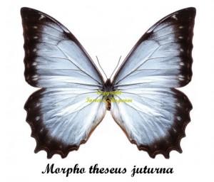 morpho-theseus-juturna