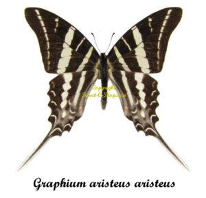 graphium-aristeus-aristeus