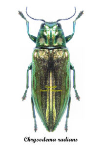 chrysodema-radians