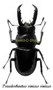 pseudorhaetus-sinicus-sinicus