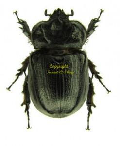Archophanes cratericollis 1