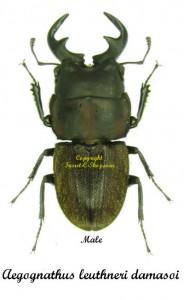 Aegognathus leuthneri damasoi 1