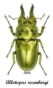 Allotopus rosenbergi 1