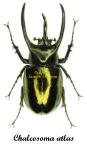 Chalcosoma atlas 1