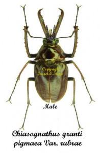 Chiasognathus granti pigmaea var