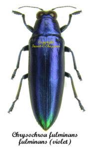 Chrysochroa fulminans fulminans (Violet Form) 1