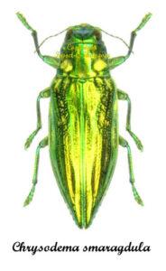 Chrysodema smaragdula 1