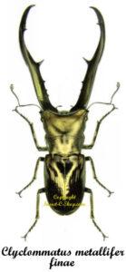 Cyclommatus metalifer finae 1