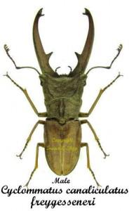 cyclommatus-canaliculatus-freygesseneri-male