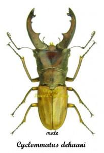 cyclommatus-dehaani-male