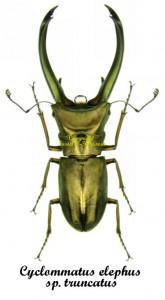 Cyclommatus elaphus ssp