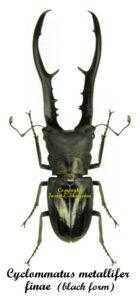 Cyclommatus metalifer finae(black form) 1