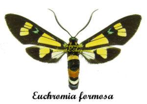 Euchromia formosa 1