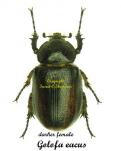 golofa-eacus-female-dark
