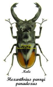 hexarthrius-parryi-paradoxus-male
