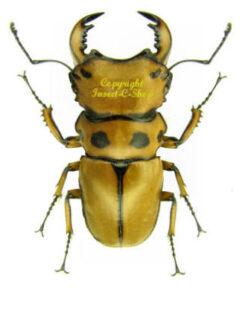 Homoderus