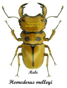 Homoderus melleyi 1
