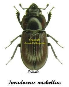 Incadorcus michellae 1